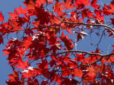 Japanese Maple in Autumn, Akan National Park, Hokkaido, Japan Reproduction photographique par Tony Waltham