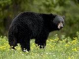 Black Bear (Ursus Americanus), Manning Provincial Park, British Columbia, Canada, North America Reproduction photographique par James Hager