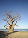 Baobab Tree, Sine Saloum Delta, Senegal, West Africa, Africa Photographic Print by Robert Harding