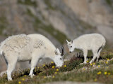 Mountain Goat (Oreamnos Americanus) Nanny and Billy, Mount Evans, Colorado, Usa Impressão fotográfica por James Hager