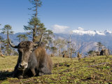 Yak Grazing on Top of the Pele La Mountain Pass with the Himalayas in the Background, Bhutan Lámina fotográfica por Michael Runkel
