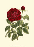 Magnificent Rose IV Poster von Ludwig Van Houtte