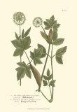 Leaves IV Posters por Johann Wilhelm Weinmann