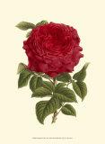 Magnificent Rose II Poster von Ludwig Van Houtte