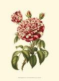 Magnificent Rose VI Kunstdruck von Ludwig Van Houtte