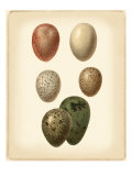 Bird Egg Study VI Affiches
