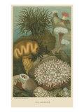 Sea Anemones Posters