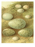 Bird Egg Collection II Prints by  Vision Studio