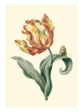 Tulipa V Posters