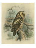 Tengmalm's Owl Poster af F. w. Frohawk