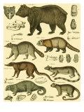 Oken Bear and Racoon Plakater av Lorenz Oken