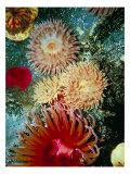 Graphic Sea Anemone III Kunstdrucke