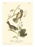 Hudson's Bay Titmouse Affiches par John James Audubon