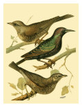 Domestic Bird Family IV Posters by W. Rutledge