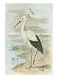 White Stork Affiches