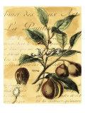 Nutmeg Poster von Walter H. Fitch