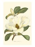 Magnolia Láminas
