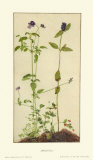 Three Medicinal Herbs: Pansy, Brunella, Anagallis Samlertryk af Albrecht Dürer