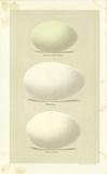 Oology IV Premium Giclée-tryk af A. Poiteau
