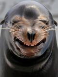 Male Sea Lion Performs 'smiling' During a Show at Kamogawa Sea Wolrd in Kamogawa, Japan Lámina fotográfica