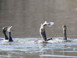 Cormorant, Phalacrocorax Carbo, is Watched by Others as it Tries to Gulp Down a Fish it Had Caught Reproduction photographique