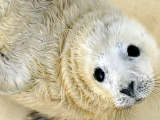 Nahia, a Five-Day-Old Grey Baby Seal, is Seen at the Biarritz Sea Museum Lámina fotográfica