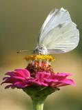 Butterfly Sits in the Bloom of a Flower (Zinnia Elegans) Fotografie-Druck