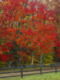 Sugar Maple in Autumn, Twin Ponds Farm, West River Valley, Vermont, USA Photographic Print by Scott T. Smith