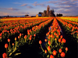 Commercial Tulip Field in the Skagit Valley, Washington, USA Photographic Print by Chuck Haney