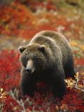 Grizzly Bear Standing Amongst Alpine Blueberries, Denali National Park, Alaska, USA Fotografisk trykk av Hugh Rose