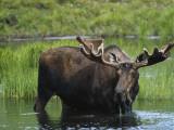 Bull Moose Standing in Tundra Pond, Denali National Park, Alaska, USA Fotografisk trykk av Hugh Rose
