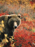 Grizzly Bear Standing Amongst Alpine Blueberries, Denali National Park, Alaska, USA Photographic Print by Hugh Rose