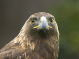 Headshot of an Eagle Posters by  D.M.