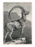 An Ibex, a Member of the Goat Family Giclée-Druck