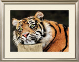 Lazy Tiger Prints by Toni Wallbank