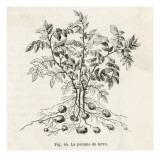 Potato Plant Giclée-Druck