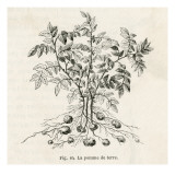 Potato Plant Giclee Print