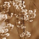 Cherry Blossom Art by Ann Dahlgren