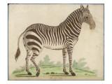 Zebra Giclée-tryk