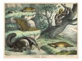 Various Quadrupeds: Giant Anteater, Brown Platypus, Pangolin, Armadillo, and Three-Toed Sloth Lámina giclée