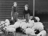 Land Girls Working Feeding Pigs on a Farm During World War II Photographic Print by Robert Hunt