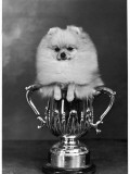 Pomeranian Champion Dimples of Hadleigh, a Pomeranian Posing in a Trophy Lámina fotográfica