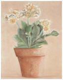 Auricula Blanche Affiches par Laurence David