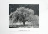 Willow Tree Prints by Edward Weston