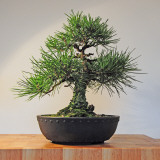 Japanese Black Pine Bonsai Tree, Pinus Thunbergii Photographic Print by Steve Greaves