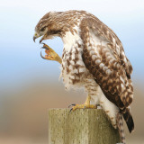 Red-Tailed Hawk Photographic Print by Rebecca Richardson