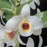 Close-Up of an Orchid Reproduction photographique par G. Cigolini