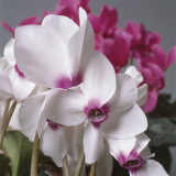 Close-Up of Florist's Cyclamen Flowers (Cyclamen Persicum) Reproduction photographique par G. Cigolini