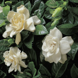 Close-Up of Cape Jasmine Flowers (Gardenia Jasminoides) Reproduction photographique par G. Cigolini