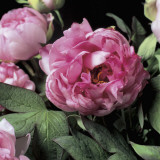 Close-Up of Common Peony Flowers (Paeonia Officinalis) Reproduction photographique par G. Cigolini